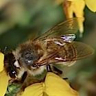 Forschung: Bienensterben durch Handys möglich