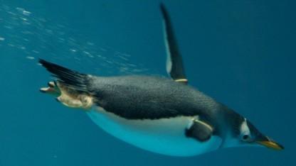 Ein schwimmender Gentoo-Pinguin