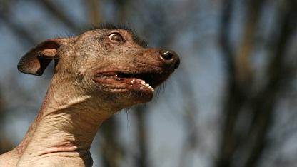 Mexikanischer Nackthund