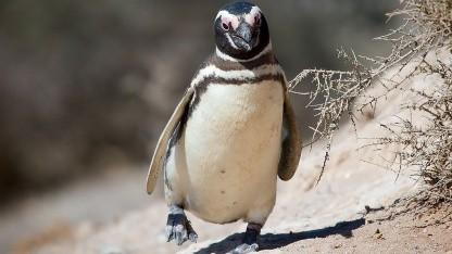 Ein Magellan-Pinguin