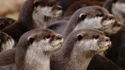 Der Otter als Namensgeber des OTRS-Community-Vereins Otterhub e. V.