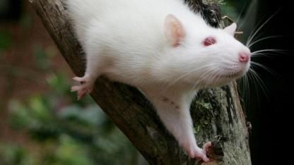 Ratte: Kleinhirn durch Chip ersetzt