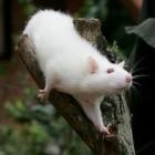 Chip im Kopf: Ratte mit Robotergehirn