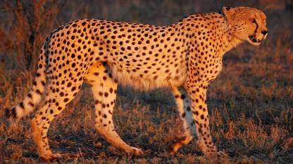 Der Gepard dient als Maskottchen des Free Pascal Compilers.
