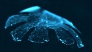 Medusoid: schwimmt mit Stromstößen.