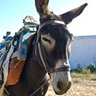 Israel: WLAN auf Eseln