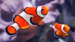 Nemo, Kapitän der Nautilus, Namenspate für Clownfische