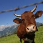 Machine-to-Machine: Kuh kommuniziert per SMS mit dem Bauern