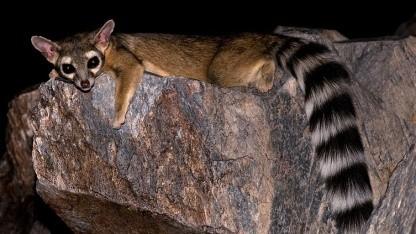 Das Maskottchen von Ubuntu 13.04 ist ein nordamerikanisches Katzenfrett und nicht ein Lemur, wie zunächst berichtet.