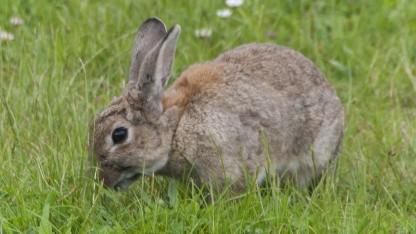 Kaninchen: Knorpelzellen aus einem Kaninchenohr und Polymerfäden