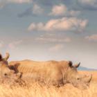 Kenia: Drohne schützt Nashörner