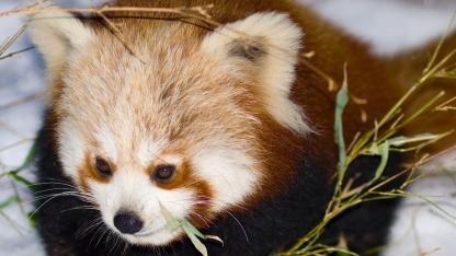 Namensgeber des Firefox - kleiner Panda/Katzenbär (Ailurus fulgens)