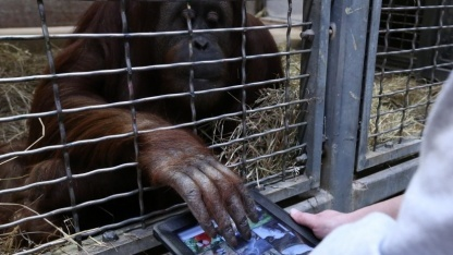 Iris (25) bedient ein iPad im Rahmen des Orangutan Outreach Programms Apps for Apes.