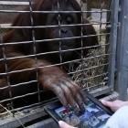 Smithsonian National Zoo: iPads für Orang-Utans