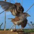Angry Birds: Sumpfammerroboter macht Sumpfammern rasend