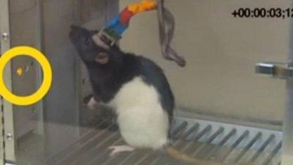 Ratte mit Gehirnschnittstelle: Hirnfunktionen und Verhalten geändert