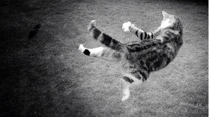Katzen können ihren Schwerpunkt beim Sturz verlagern, um sich zu drehen.