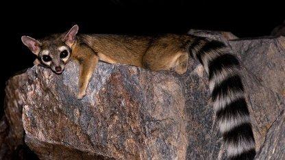 Das Katzenfrett - Namensgeber für Raring Rintail