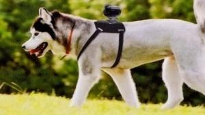 Hund mit Actionkamera auf dem Rücken