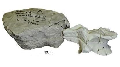 Virtuelle Rekonstruktion: Originalknochen in Gipsumhüllung und Knochen aus dem 3D-Drucker