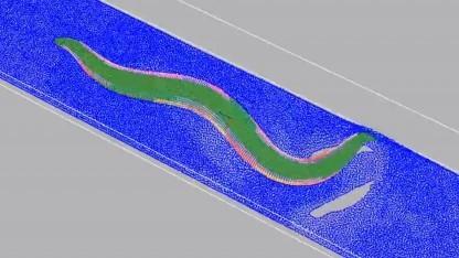 Caenorhabditis elegans wird simuliert.