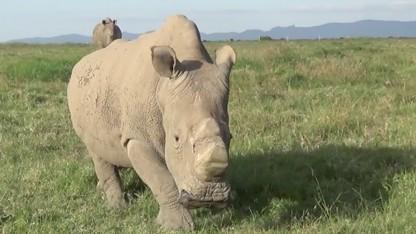 Mit Drohnen sollen Nashörner vor Wilderern geschützt werden.