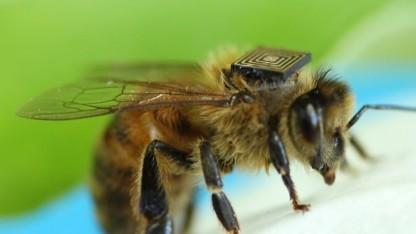 Biene mit RFID-Modul auf dem Rücken