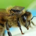 Sensoren: Bienen mit RFID-Chips auf dem Rücken