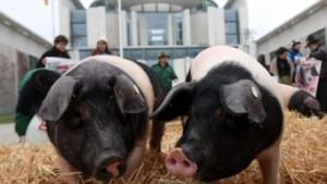 Proteste von Schweinezüchtern gegen TTIP vor dem Bundeskanzleramt in Berlin