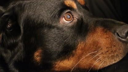 Camera Raw 8.4 kann geblitzte Tieraugen korrigieren.