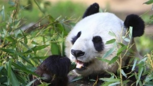 Unflod Baby Panda zielt auf iOS-Geräte mit Jailbreak.
