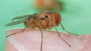 Fliegenart Ormia ochracea