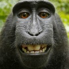 Transparenzbericht: Wikipedia will Affen-Selfie nicht löschen