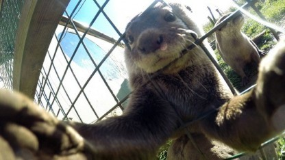 Nicht nur Affen, auch Otter können Selfies schießen.