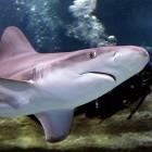 Faster: Google muss sein Seekabel wegen Haifischbissen verstärken