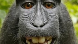 Selbstporträt des Makaken auf Indonesien