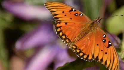 Photonische Kristalle sollen wie die Oberfläche von Schmetterlingsflügeln funktionieren.