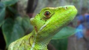 Die Echsen, englisch Lizard, umfassen u.a. die Warane, Leguane, Geckos, Skinke, Agamen und Chamäleons