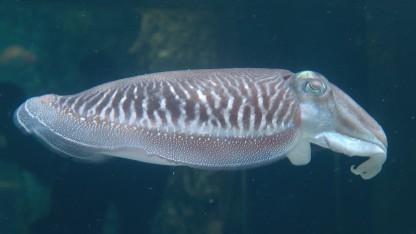 Vorbild Tintenfisch: Anpassung an die Umgebung durch Farbänderung