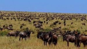 Eine Herde Gnus