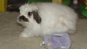 American Fuzzy Lop ist der Name dieser Kaninchenart - und außerdem der Name eines sehr effektiven Fuzzing-Tools.