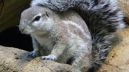 Afrikanische Borstenhörnchen (Xerus) sind Namensgeber für Ubuntu 16.04.