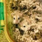Cricetidometer mit Raspberry Pi: Ein Schrittzähler für den Hamster