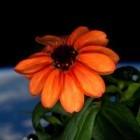 ISS: Lasst eine Blume blühen!