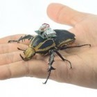 Cyborg: Wissenschaftler steuern Käfer fern