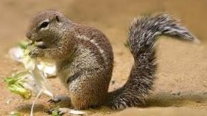 Ein afrikanisches Borstenhörnchen (Xerus) dient als Namensgeber für den Codenamen von Ubuntu 16.04.