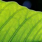 Photosynthese: Der Traum vom künstlichen Blatt