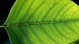 Ein echtes Blatt. Künstliche Photosynthese ist kaum wirtschaftlich.