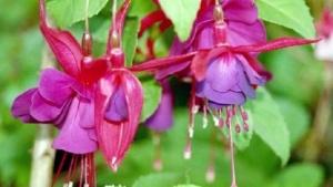 Die Farbe Fuchsia ist nach der Blumengattung der Fuchsien benannt.