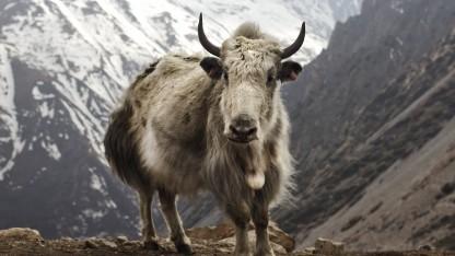 Namensgeber für die aktuelle Ubuntu-Version: ein Yak in Nepal